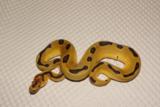 Bodemvellen honingraatpapier slangen suksesvogelvoeders